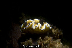 Snooted Nudibranch. by Camilla Floros